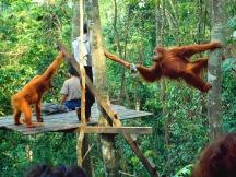bukit-lawang-feeding-platform