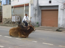 cow-blocking-the-road-everywhere-in-india-and-nepal